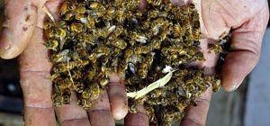 У Сумській області загинула майже тисяча бджолосімей