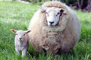 Взялися рятувати вівчарство
