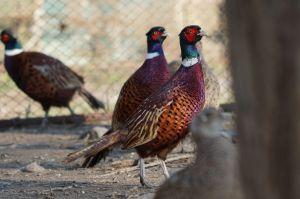 Вирощування «золотих фазанів» — справа потрібна й приємна