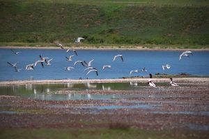 Рідкісні птахи повертаються на Тилігульський лиман