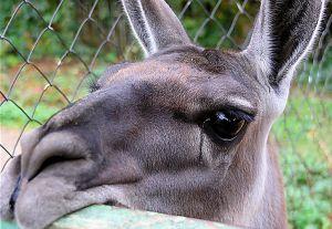 У контактному зоопарку Херсона знущалися з лами