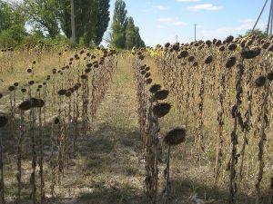 Соняшникові поля випалила спека, як у голодному 1946-му