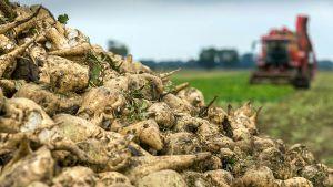 Солодких коренів зібрали вже 1,4 мільйона тонн