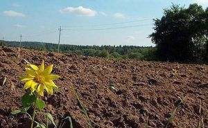 Чому на полях громад ростуть лише соняшники?