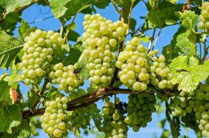 Виноград хороший — виторг поганий