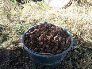 Из тонны шишек получают около десяти килограммов семян