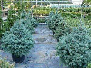 Винницкая область: Пятьсот тысяч новогодних елок по умеренным ценам