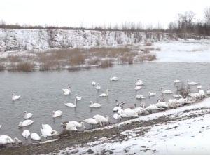 Лебеді злітаються в Чорторию на зимівлю