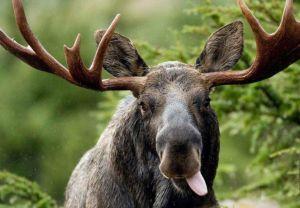 Верховний Суд захистив лося