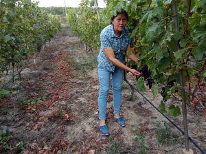 Виноградна лоза пристосовується навіть до несприятливих умов