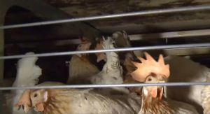 Уничтожено  более 30 тысяч голов кур
