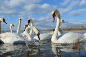 На Буковине обследовали даже лебедей