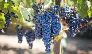 Чи стане вино харчовим продуктом?