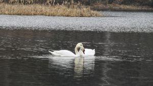 Сумщина: Лебеді — це весна