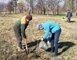 Дубно озеленюють: посадили 60 кленів у парку Афганців