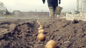 Лопата и картофель «спасают» от болезни