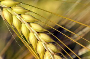 Для пшениці визначальними стануть травневі дощі