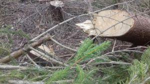 На Закарпатті незаконну вирубку лісу виявили прикордонники