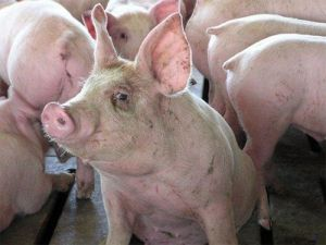 «Свинячий саботаж» на Херсонщині