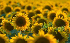 Соняшник від стресу захворів