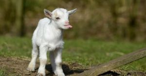 Полтавщина: Врятували козеня