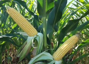«Подкачала» кукуруза