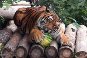 Традиционная Арбузная неделя проходит в Киевском зоопарке.