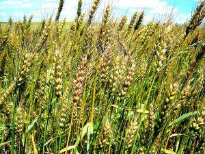Прикарпаття: Урожай менший — фінансові результати тішать