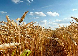 Ривненская область: Виды на урожай радуют