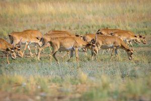 Херсонщина: Остров на Сиваше заселили степные антилопы