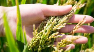 На Херсонщині стартували білі жнива — збирання рису