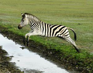 Херсонщина: У таврійських степах зебри розстрибалися