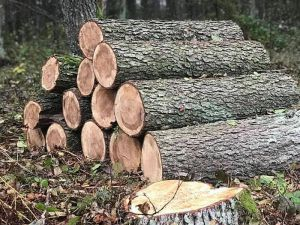 Волынь: С бензопилой  по заповедному лесу
