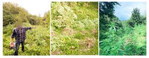 Ивано-Франковщина: Коноплю высадил в лесу