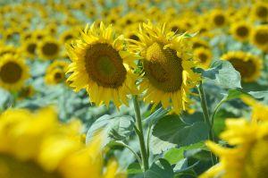 Не досіяли восени — очікуємо на «соняшниковий» рекорд