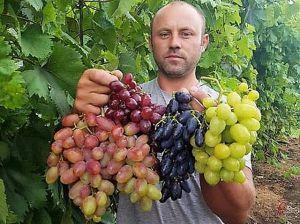 Виноградины — как яблоки, грозди — как арбузы