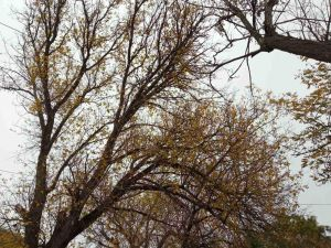 Зрубали дерево, зазіхнули на пам'ять