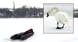 Хмельнитчина: Мороз «сковал» лебедей на водоемах