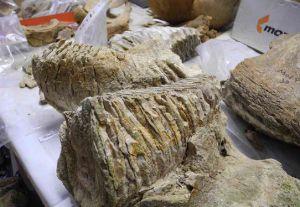 Черновцы: В Днестре нашли зуб мамонта