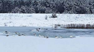 Лебедей нужно спасать разве что от самих спасателей