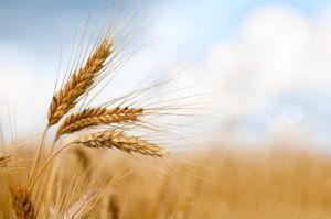На зовнішніх ринках зерно дедалі дорожчає