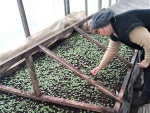 Екзотичні сорти капусти посувають традиційну білокачанну