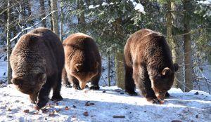 Закарпатье: Медведи просыпаются и покидают берлоги