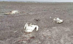 Херсонщина: Масова загибель лебедів на Сиваші