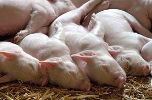 Буковина: Чума свиней нищить поголів'я