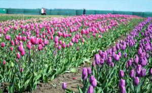 Буковина: Квітучі поля ваблять туристів