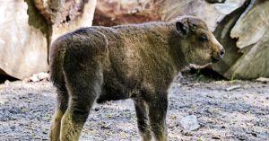 Киев: В семье бизонов — пополнение