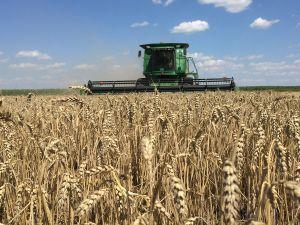 Подмоченное ливнями зерно подсушит жара