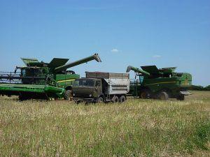 В бункеры комбайнов ложится серая пшеница