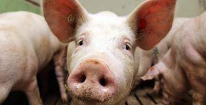 Херсонщина: У національному парку — чума свиней